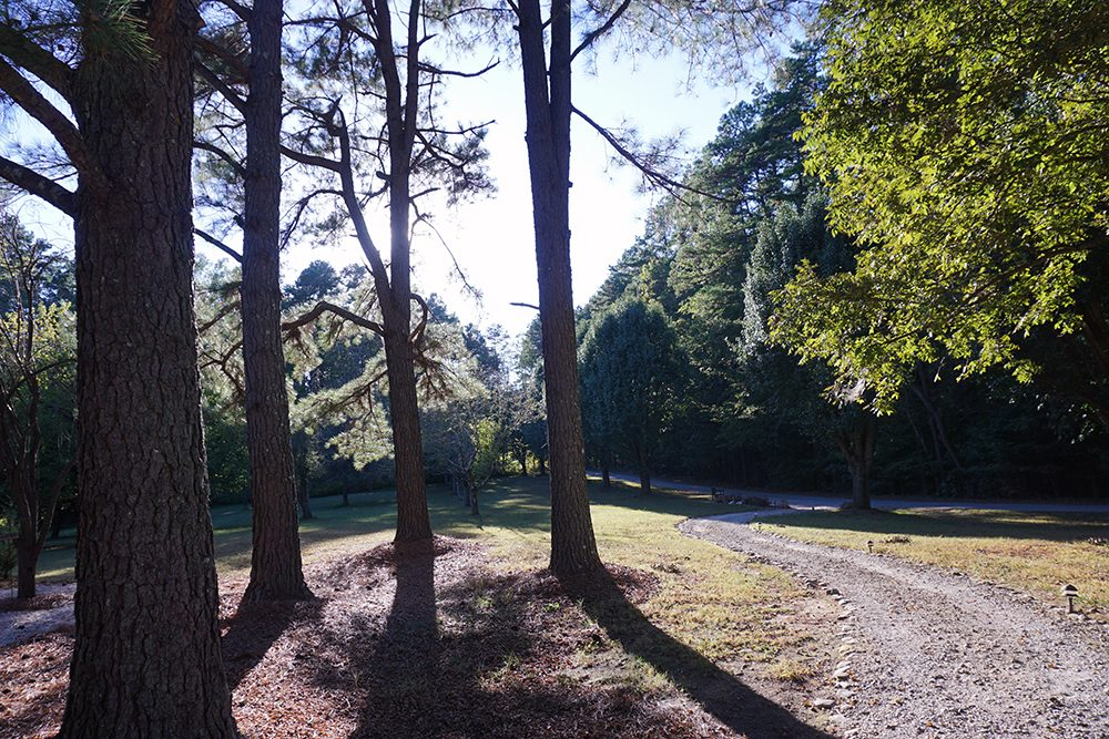 Pine trees and path